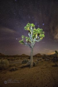 Somewhat cooler shot in Joshua Tree National Park of a Joshua Tree at night.